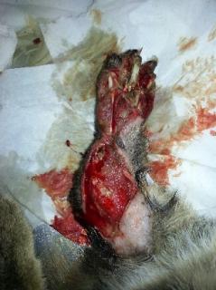 APPEL URGENT POUR iloé ,fracture du fémur ,sauvé de l'eutha a cause du depart en vacances de ses propriétaires  - Page 2 20130512