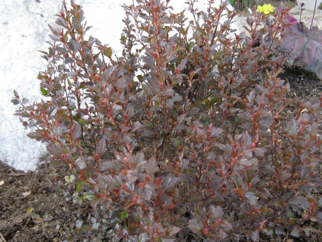 Physocarpus Little Devil Img_5936