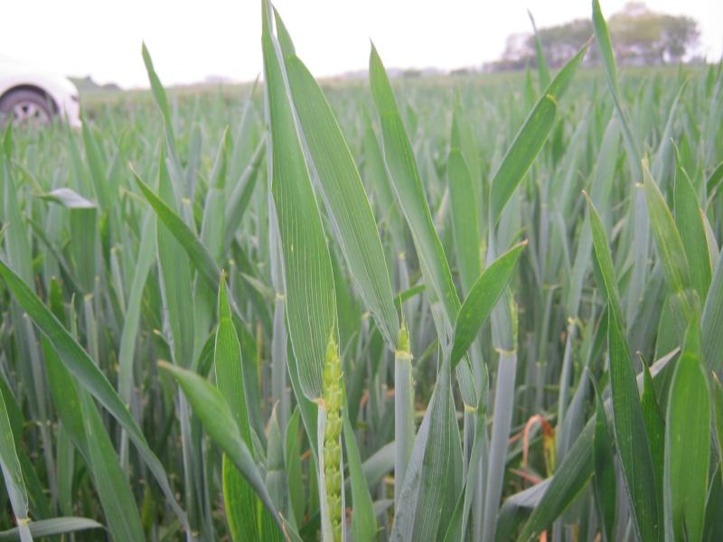 croyez vous que le dicton : < mai ,ne part pas sans son épi de blé > va s'avérer cette année ??  - Page 2 Api_0010
