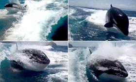 Balena vrasëse ndjek për një orë varkën e çiftit që festonte 20-vjetorin  Balena10