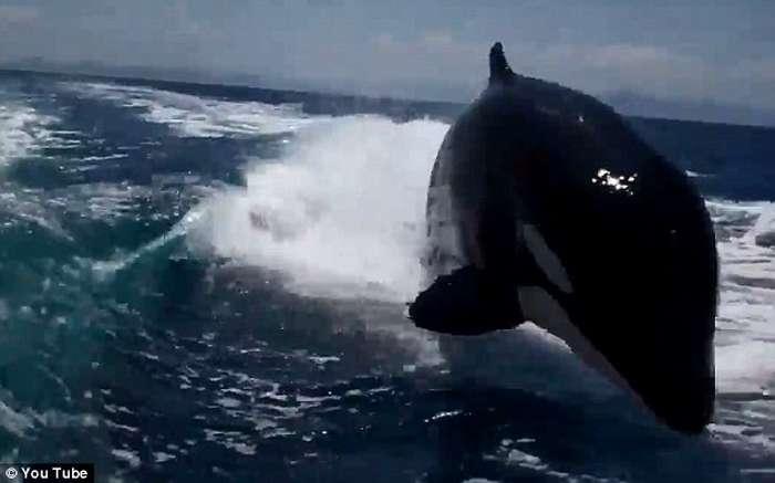 Balena vrasëse ndjek për një orë varkën e çiftit që festonte 20-vjetorin  Balena12