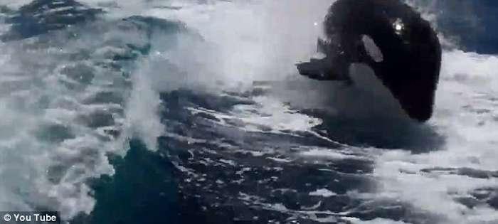 Balena vrasëse ndjek për një orë varkën e çiftit që festonte 20-vjetorin  Balena14