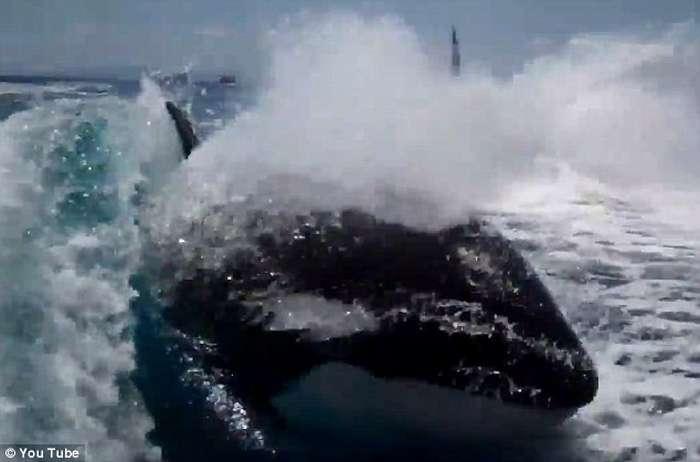Balena vrasëse ndjek për një orë varkën e çiftit që festonte 20-vjetorin  Balena15