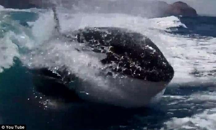 Balena vrasëse ndjek për një orë varkën e çiftit që festonte 20-vjetorin  Balena16