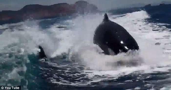 Balena vrasëse ndjek për një orë varkën e çiftit që festonte 20-vjetorin  Balena17