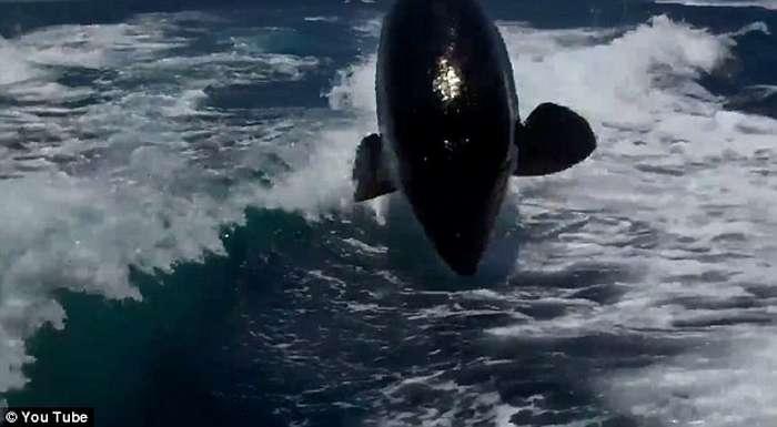 Balena vrasëse ndjek për një orë varkën e çiftit që festonte 20-vjetorin  Balena18