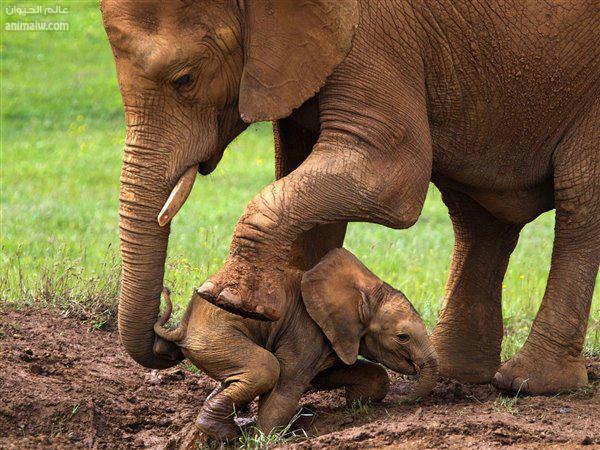 Edhe kafshet kan ndjenja Elefan10