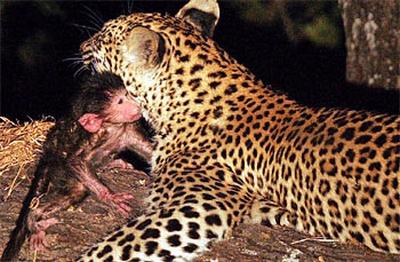 Edhe kafshet kan ndjenja Leopar10