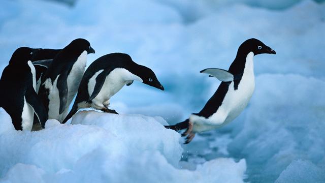 Pse nuk munden te fluturojne pinguinet? Pengui10