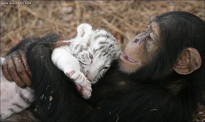 Edhe kafshet kan ndjenja Tigri10