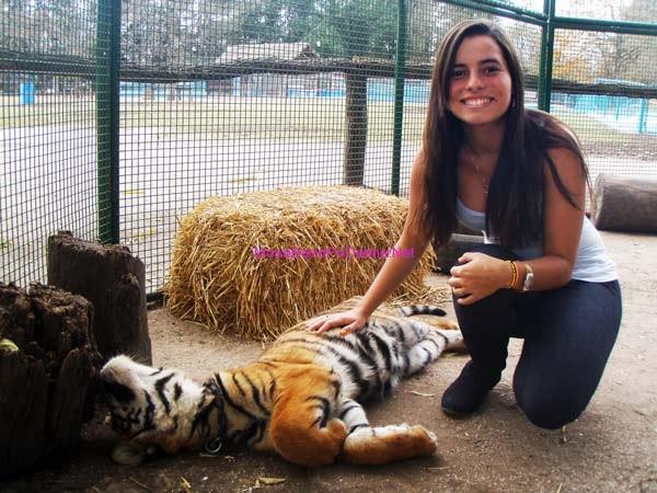 Kopshti zoologjik më i 'çmendur' në botë Tigri13