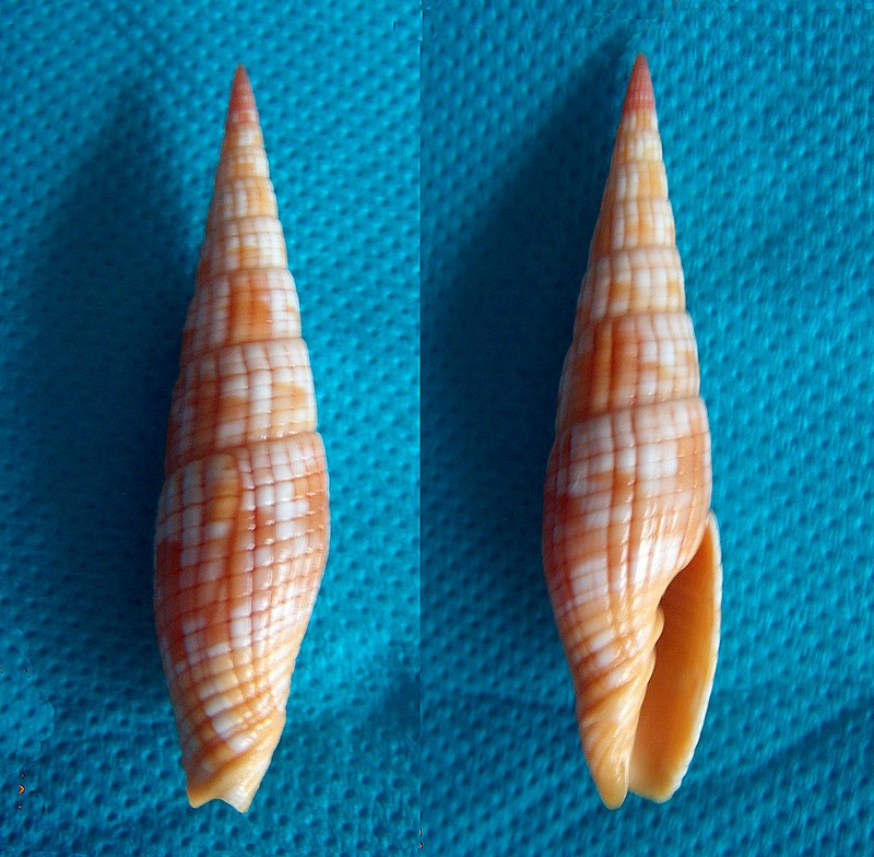 Vexillum costatum - (Gmelin, 1791) Dscn0711