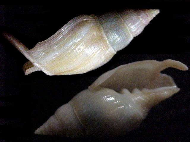 Costellariidae Ceratoxancus teramachii - Kuroda, 1952  Mitraf10