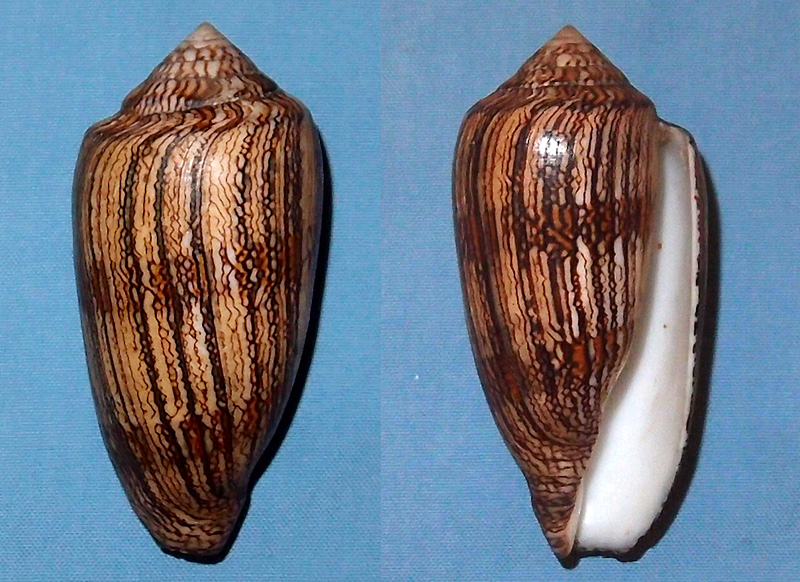 Conus (Cylinder) textile cholmondeleyi  Melvill, 1900 voir Conus (Cylinder) textile Linnaeus, 1758 P1061110