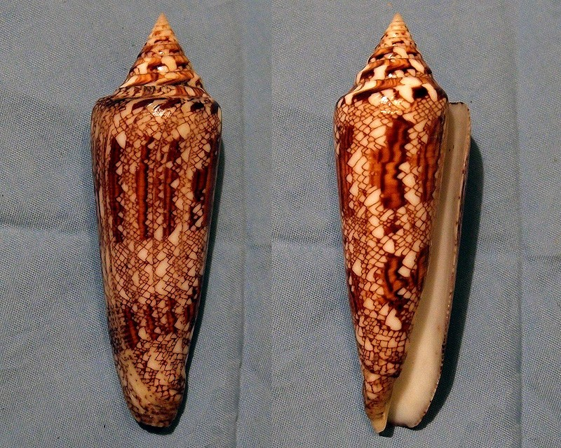 Conus (Cylinder) bengalensis   Okutani, 1968 - Page 2 P5192810