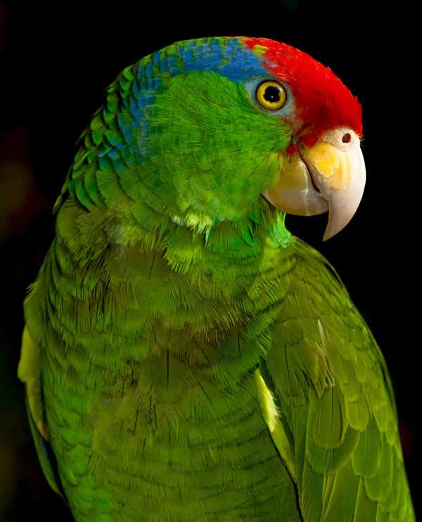 Green Parrots Greenp10