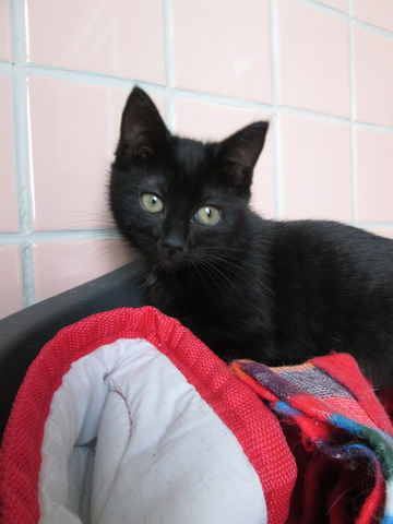 3 chatons à l'adoption (59) Img_2012