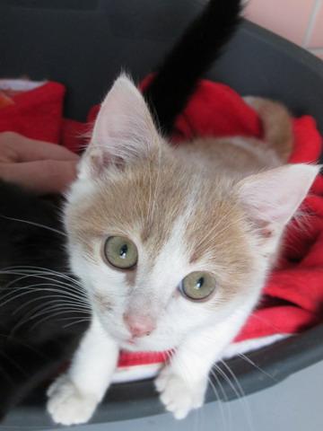 3 chatons à l'adoption (59) Img_2014