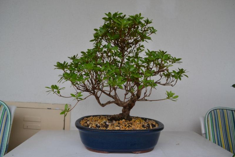 restyling piccola azalea Dsc_0710