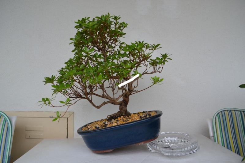 restyling piccola azalea Dsc_0711