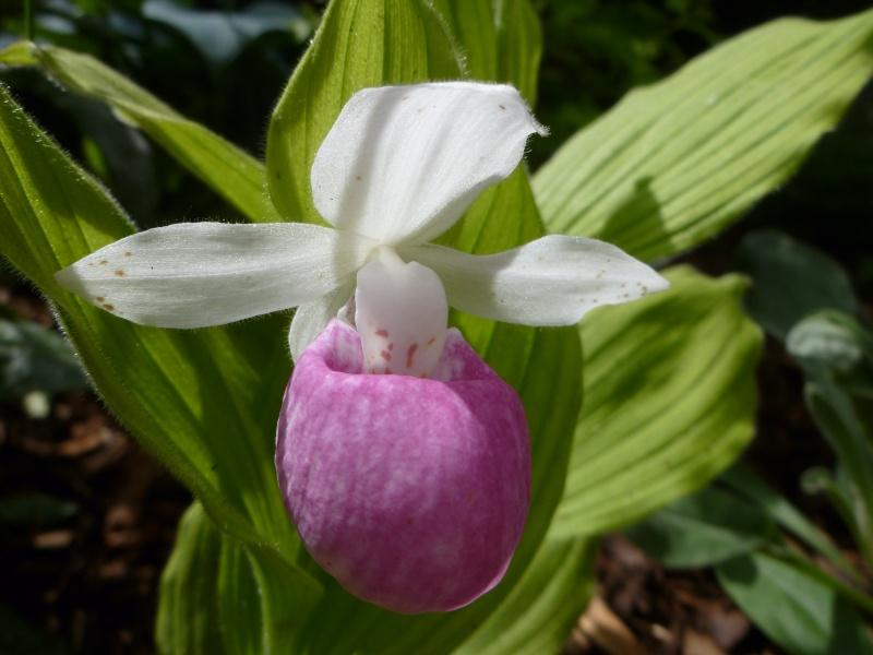 orchidées P1060411