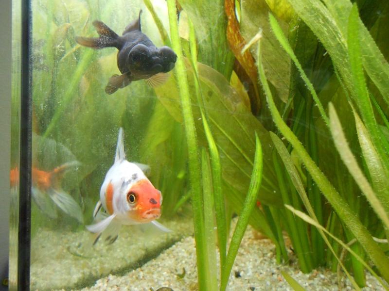 Le 210 litres des poissons rouges (Nouveau Départ : page 22) - Page 18 Dscn0712
