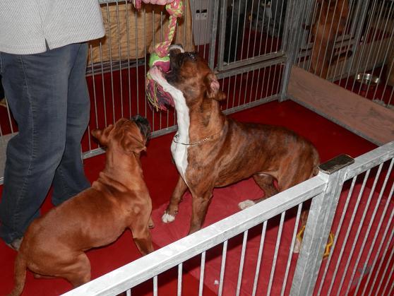Salon chiens et chats 2013 PARIS - Page 4 P4280228