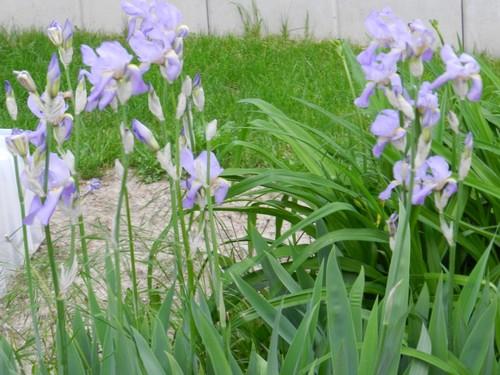 Tous nos iris regroupés ici Dscn1010