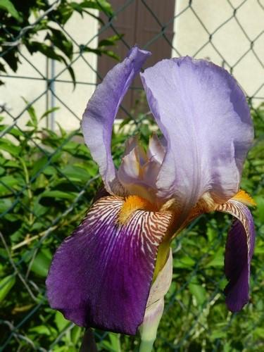 Tous nos iris regroupés ici Dscn1011