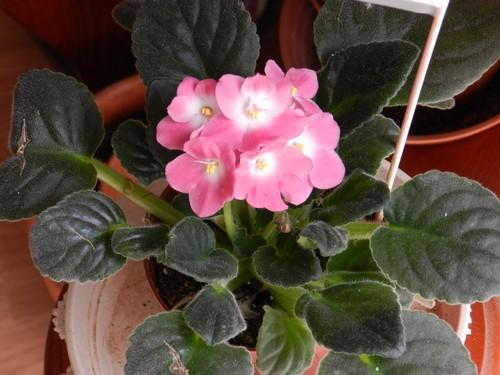 saint paulia bientôt en fleurs!!!! Dscn3317
