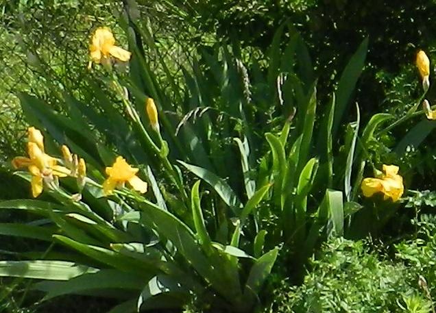 Tous nos iris regroupés ici Iris_j10