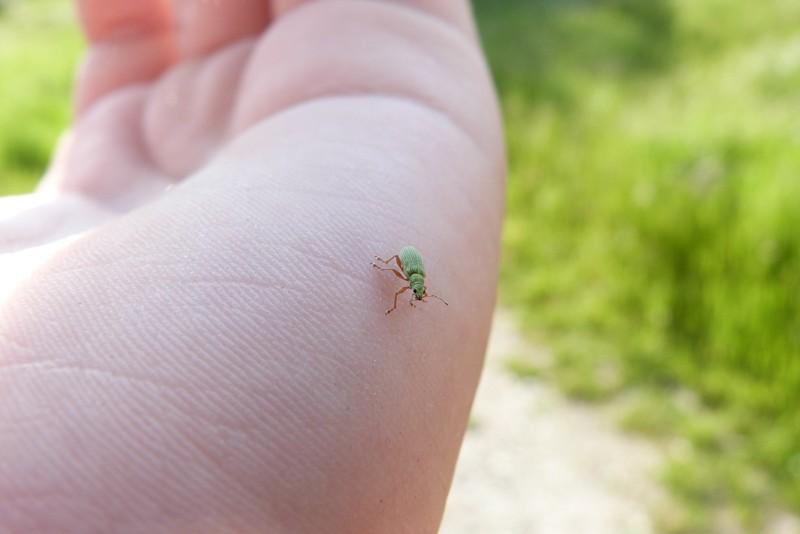 [Curculionidae] Quel est ce petit insecte ? P1030810