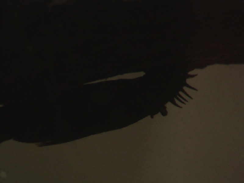 150L, Corydoras Sauvages! Ancist11