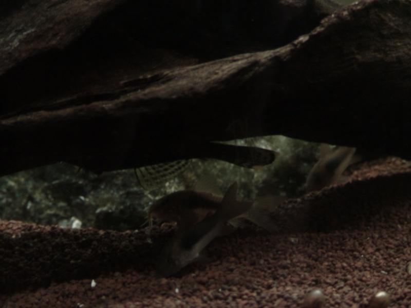 150L, Corydoras Sauvages! Aqua1210