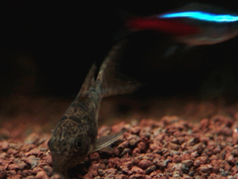 150L, Corydoras Sauvages! Aqua1311