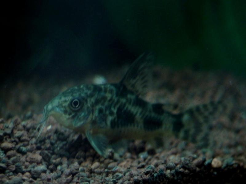 150L, Corydoras Sauvages! Aqua911