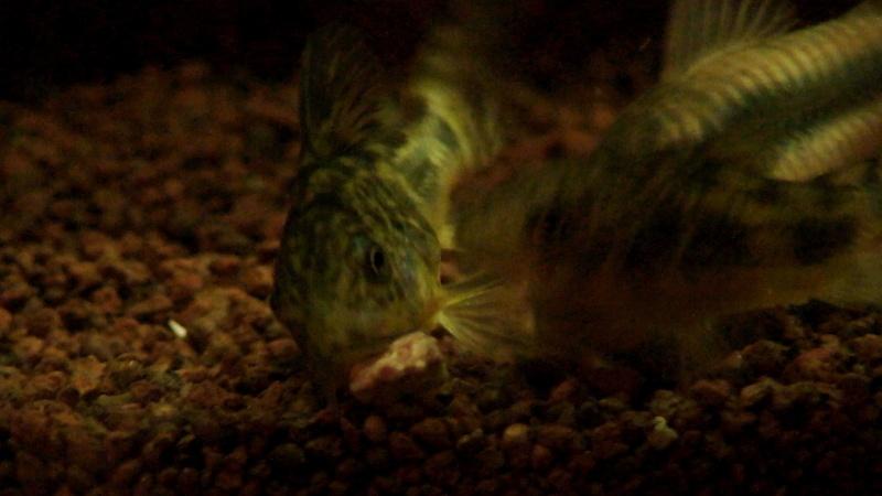 150L, Corydoras Sauvages! Flou10