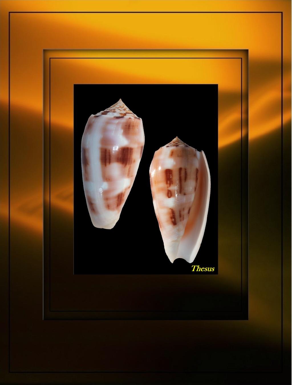 Conus (Pionoconus) floridus (Sowerby II, 1858) voir Conus (Pionoconus) striatus Conu_110