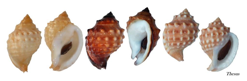 Galeodea echinophora - (Linnaeus, 1758) Zgal910