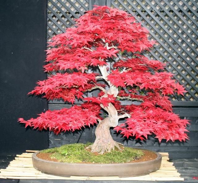 Acer Palmatum Shindeshojo Sliced And Spliced