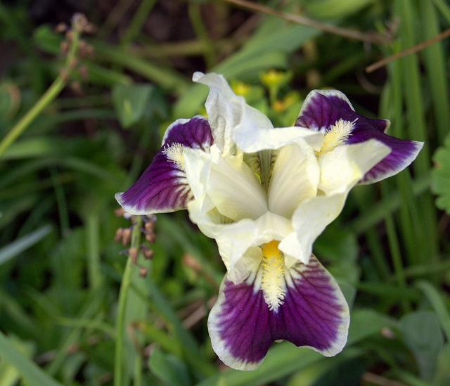 Iris nains horticoles 2012-2015 - Page 4 87108510