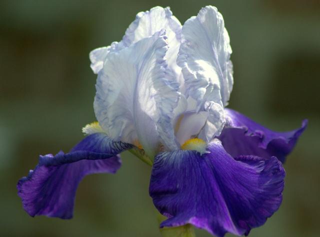 Floraisons de nos Iris barbus 2013 - Page 8 Iris_010