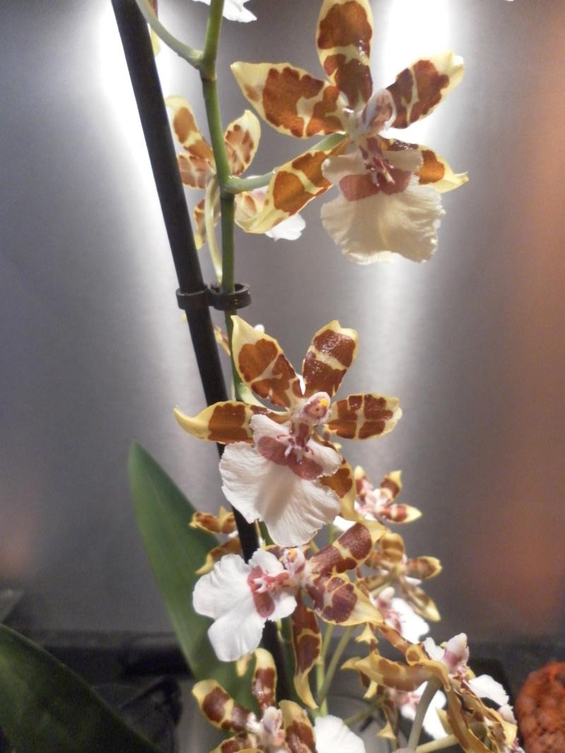 les orchidées de syljou - Page 2 Sam_8816