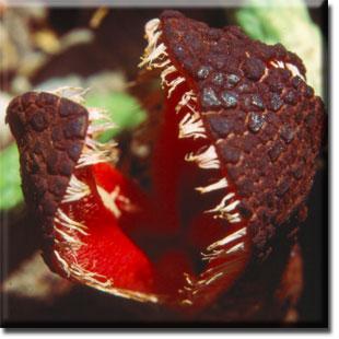 Végétaux extraordinaires : Hydnora Africana , plante cannibale Hydnor10