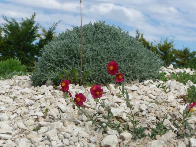 Hellianthemum,Hellianthème rouge P1190910