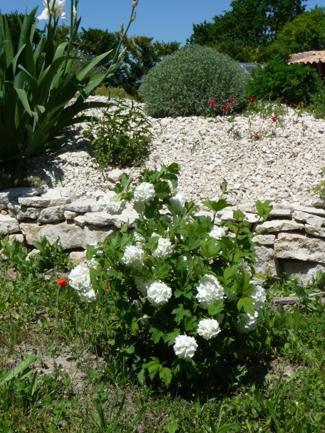 Viburnum opulus, Viorne obier, Boule de neige - Page 2 P1200326