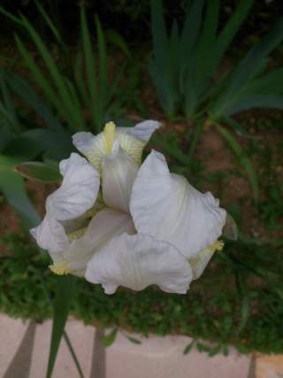 Floraisons de nos Iris barbus 2013 Aaa_0211