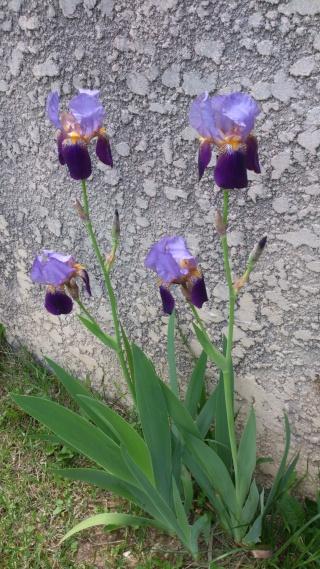Floraisons de nos Iris barbus 2013 - Page 2 Aaaa_015