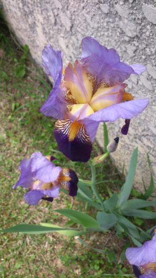 Floraisons de nos Iris barbus 2013 - Page 2 Aaaa_016