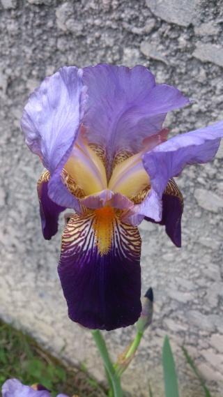 Floraisons de nos Iris barbus 2013 - Page 2 Aaaa_017